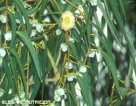 El eucalipto, otro imprescindible en nuestra vida