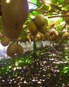 ¿Conoces realmente todos los beneficios del kiwi para la salud?
